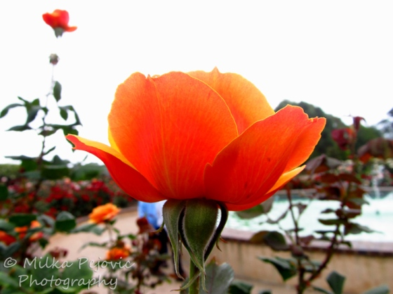 Wordpress weekly photo challenge: an unusual POV -  Orange rose at Balboa Park in San Diego