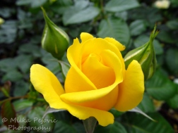 Yellow rose about to open