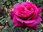 Macro Monday: Close-up of a purple rose
