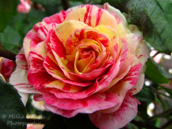 Travel theme: Multicolored rose