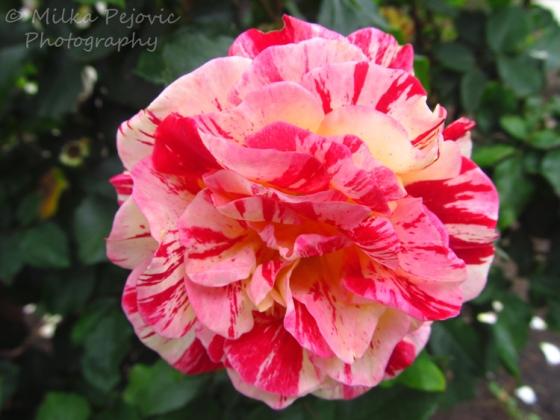 Macro Monday: roses at San Diego Balboa Park