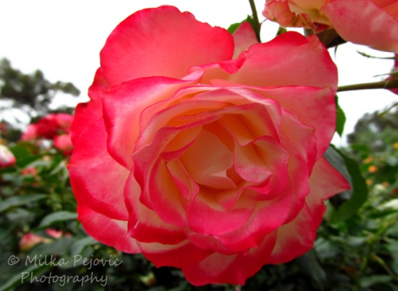 Let's Be Wild Weekly Photo Challenge – Scent of a fragrant rose
