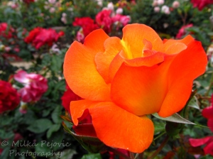 A Word A Week Challenge – Orange rose at Balboa Park