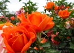 A Word A Week Challenge – Orange rose in San Diego's rose garden