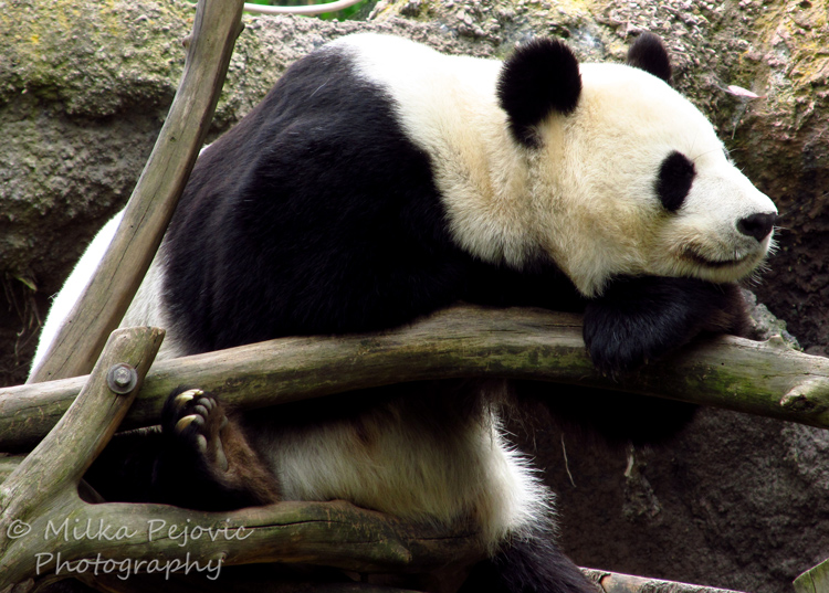 Sunday Post: Attraction - Panda Bai Yun at the San Diego Zoo