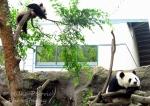 Mother panda bear and panda cub