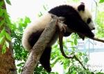 Travel theme: Tilted baby panda