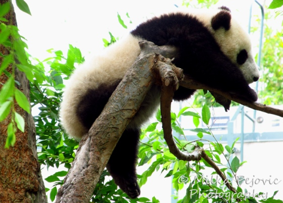 Sunday Post: Attraction - Baby panda Xiao Liwu at the San Diego Zoo