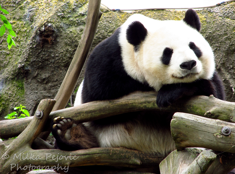 Giant panda bear at the San Diego Zoo