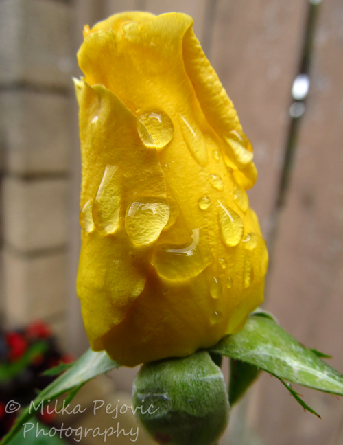 Macro Monday: raindrops on yellow rose