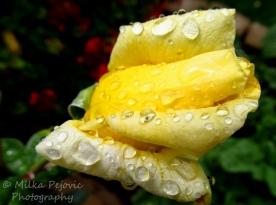 Macro Monday: close-up of raindrops on yellow rose