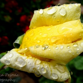 Macro Monday: close-up of raindrops on yellow rose