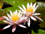 Light pink water lilies