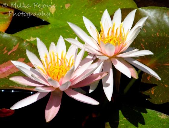 Light pink water lilies