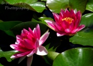 Bright pink water lilies