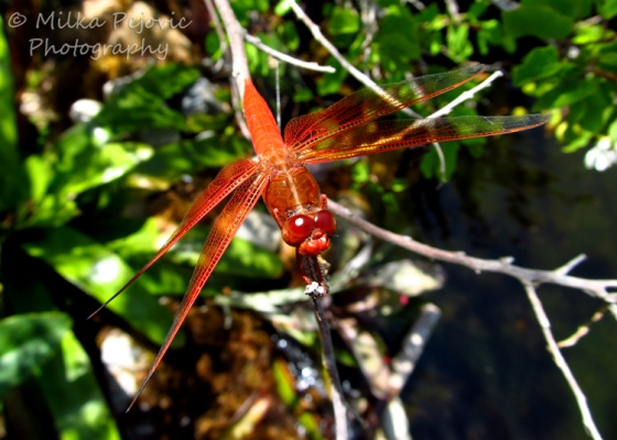 Macro Monday: orange dragonfly on a branch