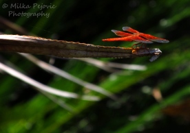 Macro Monday: orange dragonfly taking off