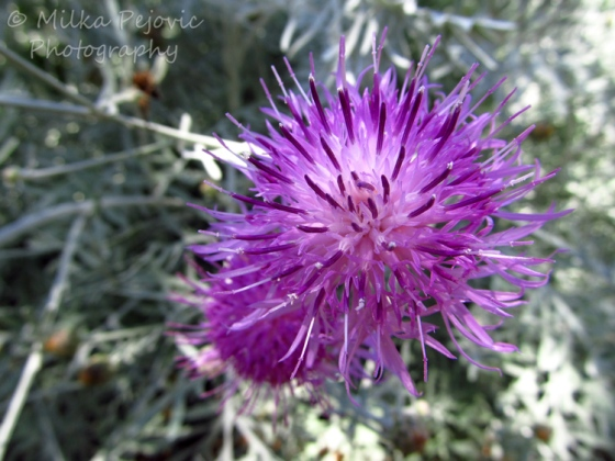 Macro Monday: purple flowers with thin, long petals