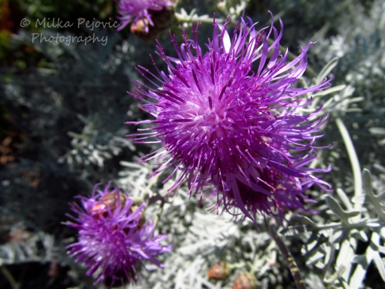 Macro Monday: purple flowers and white leaves
