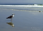 WordPress weekly photo challenge: Sea - seagull looking for food