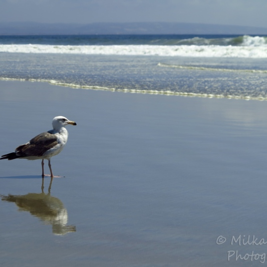 WordPress weekly photo challenge: Sea - seagull looking for food