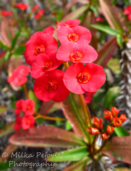 Macro Monday: small and red red flowers - crown of thorns plant
