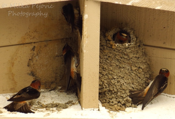WordPress weekly photo challenge: The world through my eyes - cliff swallows