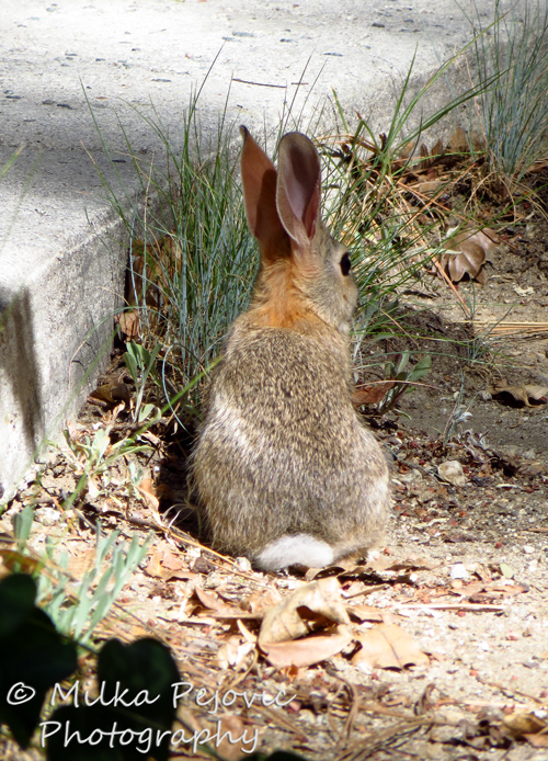 Wordpress weekly photo challenge: Companionable - white cottontail rabbit