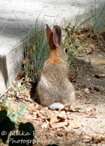 Wordpress weekly photo challenge: Companionable - white cottontail rabbit