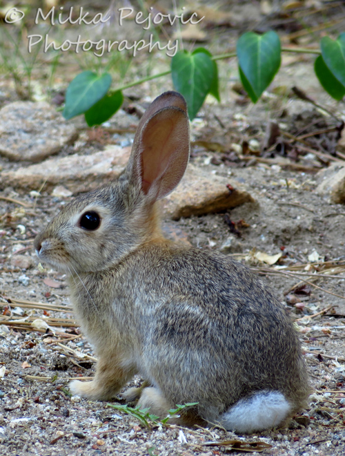 White cottontail rabbit