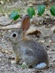 White cottontail rabbit