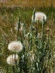 Giant dandelions in seed