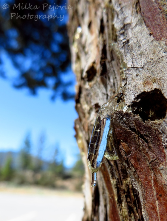 Macro Monday: Pine tree sap from up close