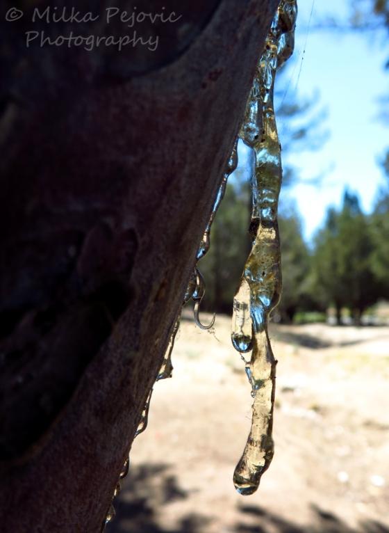 Macro Monday: Pine tree sap hanging from tree