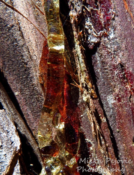 Wordpress weekly photo challenge: Layers of colorful pine tree sap