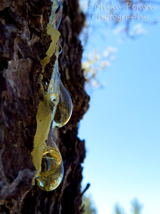 Wordpress weekly photo challenge: Layers of pine tree sap