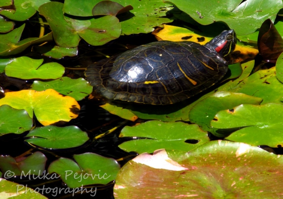 Travel theme: Peaceful painted turtle in a pond