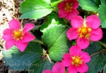 Red ruby strawberry pink flowers