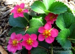 Fragaria red ruby with pink flowers
