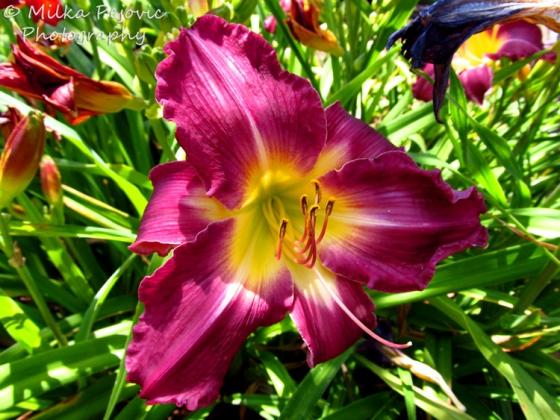 Macro Monday: purple lily