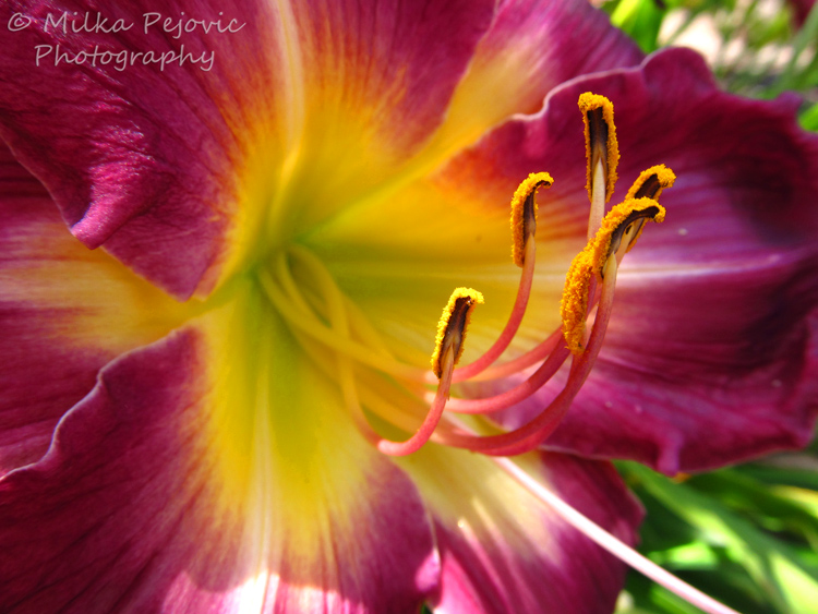 WordPress weekly photo challenge: Curves of purple lily pistils