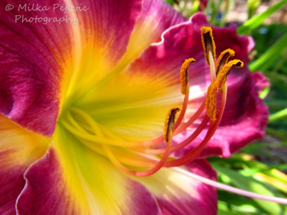 Macro Monday: Close-up of the inside of a purple lily