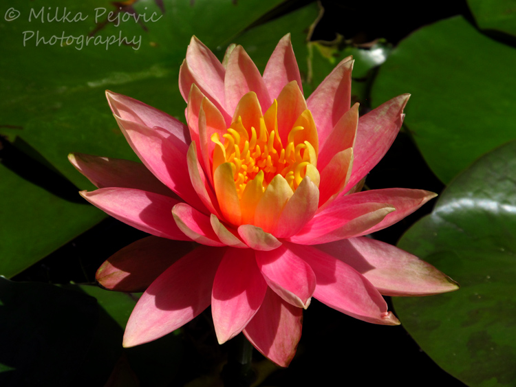 Close-up of a Light pink waterlily