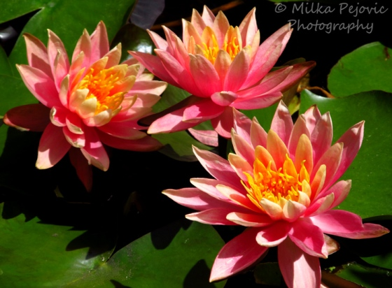 Light pink waterlilies in a pond