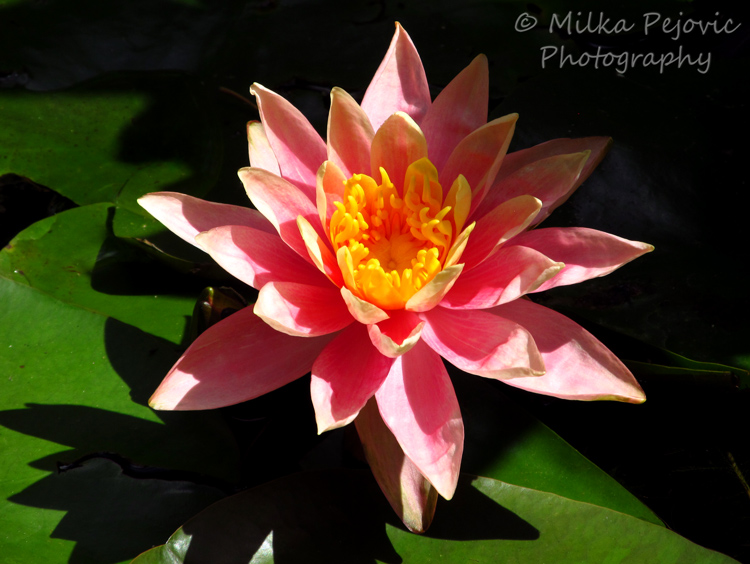 Pink and orange waterlily with lily pads
