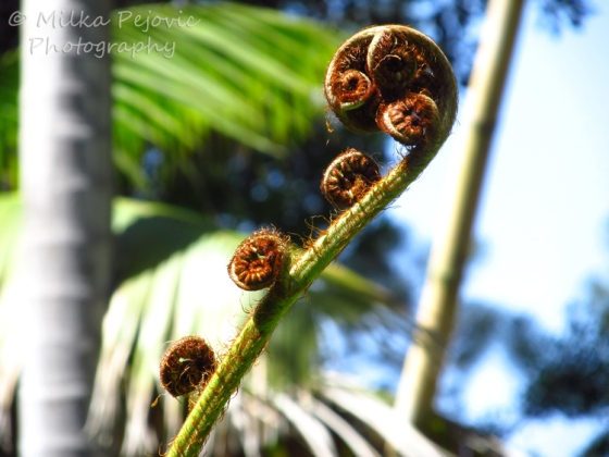 Close-up of giant fern fiddleheads