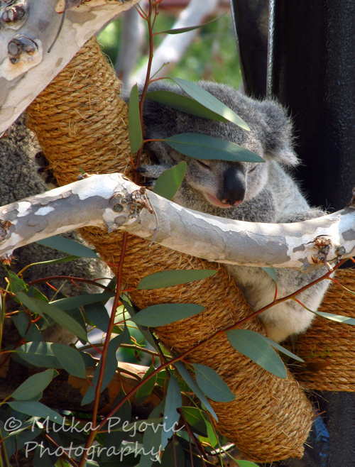 Baby koala sleeping in a tree next to mom koala
