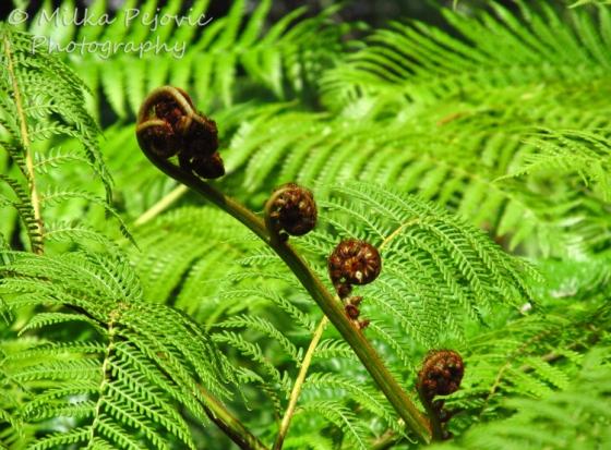 Giant fern fiddleheads in San Diego