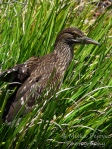 WordPress weekly photo challenge: The world through my eyes - juvenile black-crowned night heron