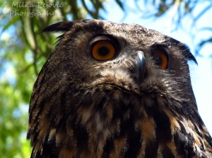 Macro Monday: the eyes of the great gray owl